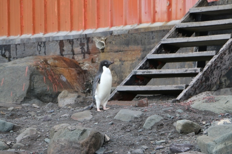 Lone penguin overseeing our activities.