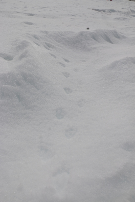 Penguin prints in the snow.