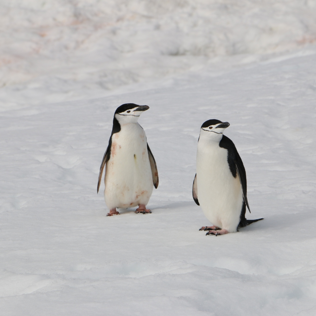 This pair of penguins was intrigued by our group photo. Can you tell who's been pooped on?